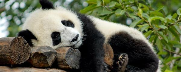 bonos panda